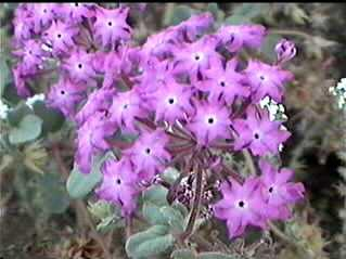 An old photo of Abronia villosa var. aurita, Sand Verbena, from the south coast of California.