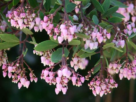 Baby Bear manzanita bush has dark red bark, bright rose pink flowers, liked by hummingbirds, butterflies, bumblebees and other native bees, easy to grow, tolerates most soils, Baby Bear manzanita is a huggable when young.  The height seems to be about seven feet and width about eight feet.The bush can be easily pruned to five feet both vertically and wide.'Baby Bear' manzanita can be used as a six to eight foot hedge. The bright pink flowers are very showy and stay for about sixty days. This manzanita bush has a goodly amount of nectar in it's flowers that is used by hummingbirds, butterflies and many native insects.<br> Baby bear seems to tolerate many conditions and be happy as a bear in most of California.