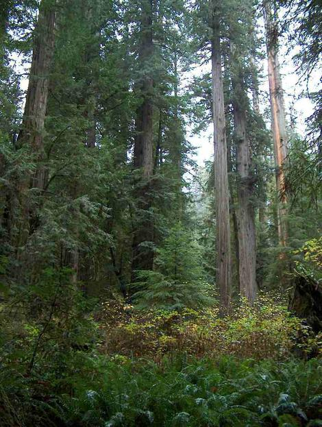 A forest picture of a  California's Coastal Redwood forest with coast redwood (Sequoia semperviren), Elderberry Trees Sambucus,  and  Western Sword Fern (Polystichum munitum) - grid24_12