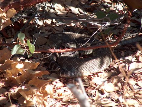 Coiled Western Diamond Back Rattlesnake in the shade - grid24_12