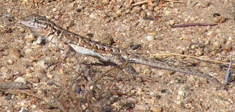 Side-Splotched lizard in hot gravelly soil. - grid24_12