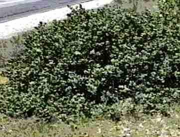 An old picture of Arctostaphylos canescens.