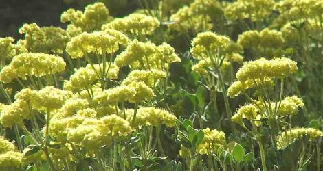 Shasta Buckwheat or Sulfur  Buckwheat flowers can add a lot of color to a native garden in summer.