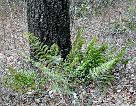 Dryopteris arguta Wood Fern - grid24_12