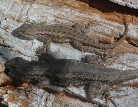 Two Western Fence Lizards laying on the beach - grid24_12