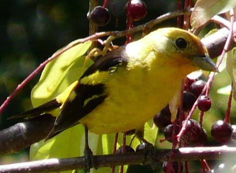 Western Tanager on Black Chokecherry. Plant native plants with that bear fruit or berries and you get great birds. - grid24_12