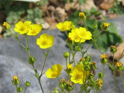 Potentilla gracilis , Cinquefoil is a little perennial with these yellow flowers. - grid24_12
