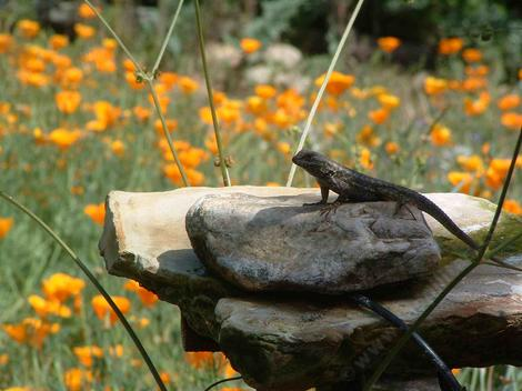 Western Fence Lizard posing on the bird bath - grid24_12