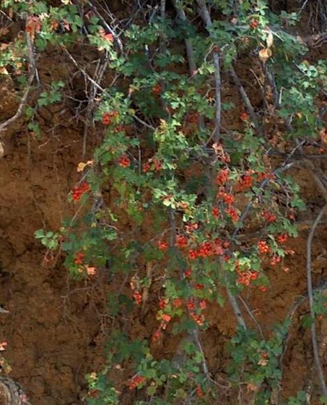Rhus trilobata, Squaw Bush Sumac with berries hanging down bank. - grid24_12