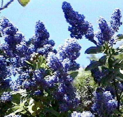 An old picture of Ceanothus Sierra Blue - grid24_12