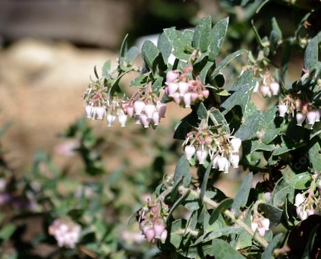 Arctostaphylos parajaroensis Brother James was originally called Brother Bill because of a misunderstanding. - grid24_12