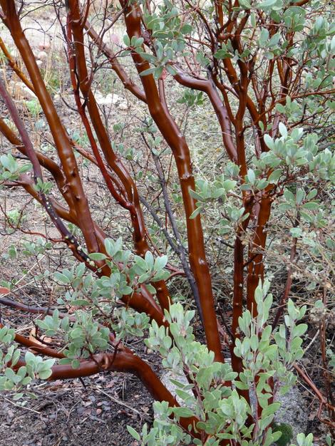 The bark of Arctostaphylos pungens, Mexican Manzanita