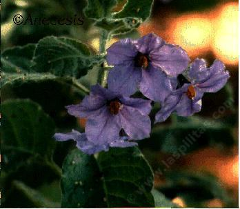 Solanum wallacei Wallaces Nightshade