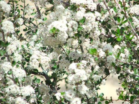 The white form of Buckbrush, Ceanothus cuneatus