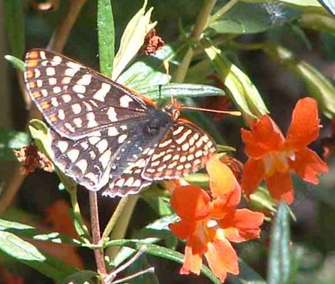 Checkerspot Butterfly on a Red monkey flower. - grid24_12