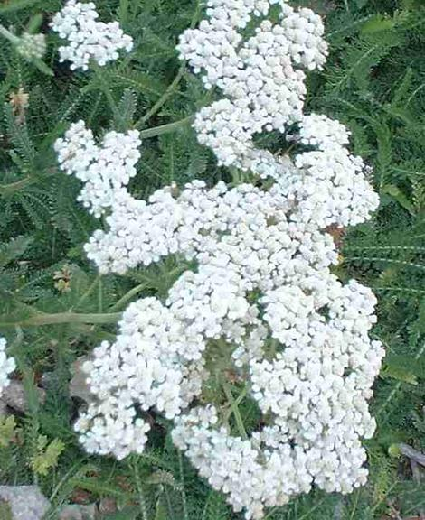 Achillea millefolium var. lanulosa, Mountain Yarrow has grown as a pure white ground cover.