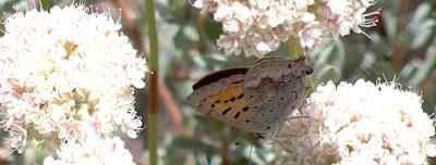 A Tailed Copper butterfly on a California Buckwheat - grid24_12