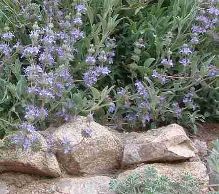 A Salvia Gracias on a rock wall - grid24_12