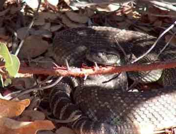 Coiled Western Diamond Back Rattlesnake in the shade, not a place to put hand - grid24_12