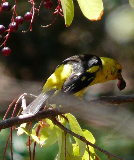 Western Tanager eating a  Black Chokecherry. - grid24_12
