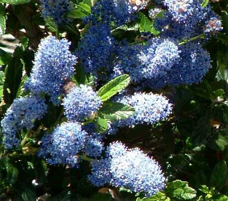 The flowers of Ceanothus Joyce Coulter - grid24_12