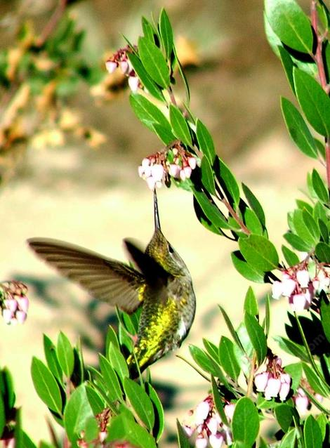 Anna Hummingbird working the flowers of Sentinel manzanitas - grid24_12