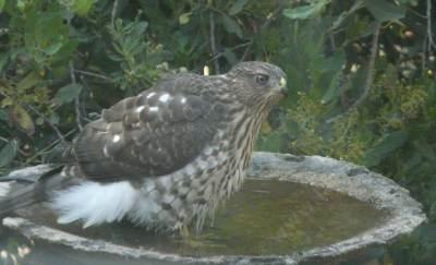 Sharp-shinned Hawk (Accipiter striatus) in the bird bath. Well he is a bird, and it is a bath, a little small. - grid24_12