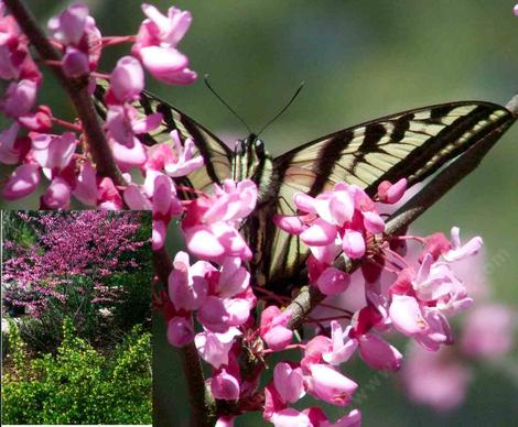 A Pale Swallowtail butterfly on  the Redbud, Cercis occidentalis, the inset shows Golden Currant, Ribes aureum gracilentum flowered exactly right.