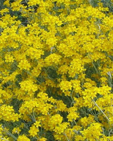 Eriophyllum confertiflorum, Golden Yarrow, makes the prettiest little burst of yellow from spring through early summer (depending on your location) in the dryland native garden throughout most of California. - grid24_12