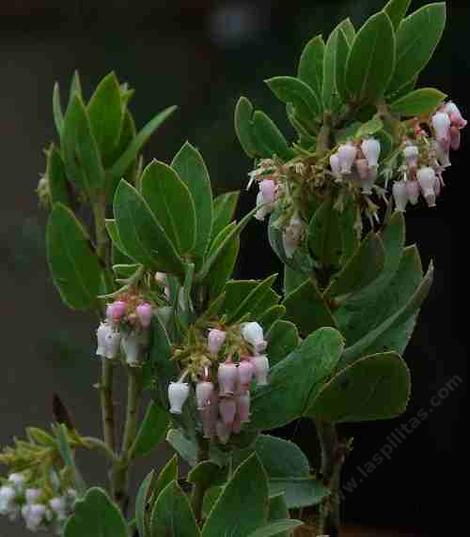 Arctostaphylos hooveri, Hoovers manzanita grows into a medium sized bush.