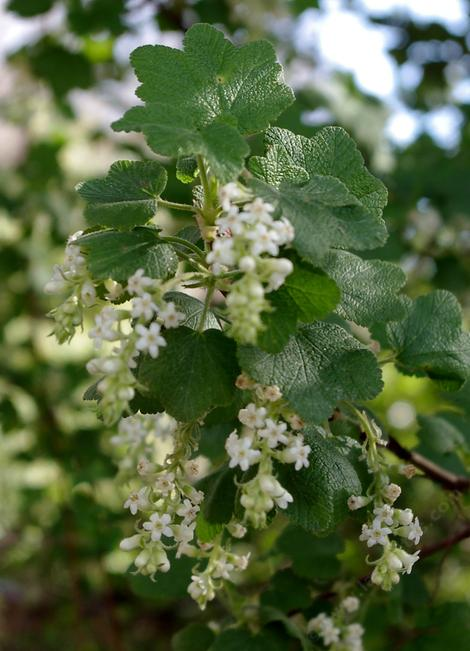 White chaparral currant with flowers at Santa Margarita - grid24_12