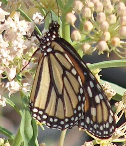 Monarch Butterfly, Danaus plexippus,  butterfly on a Milkweed - grid24_12