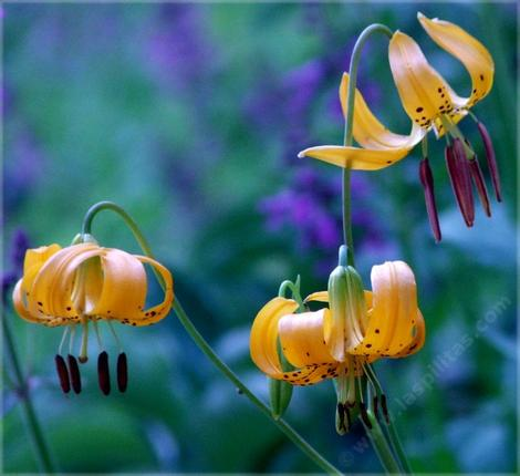 Lilium kelleyanum, Kelly's Lilly flowers