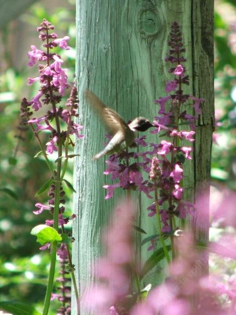 Stachys chamissonis, Magenta Butterfly Flower with an Anna Hummingbird. - grid24_12