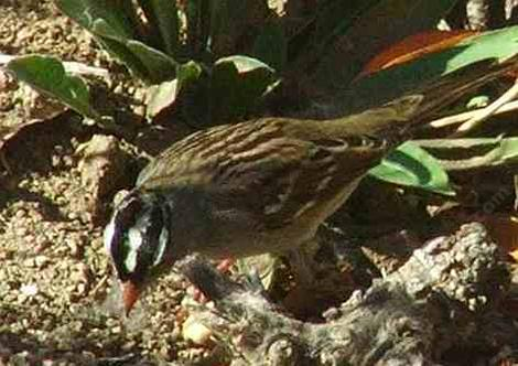 White crowned sparrow showing his head. - grid24_12
