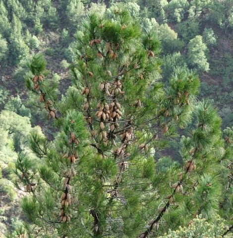 This is a specimen of Pinus attenuata, Knobcone Pine, in its native habitat in central California, of mixed evergreen forest.