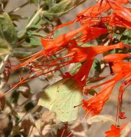 Dog Face Butterfly one a California Fuchsia  - grid24_12