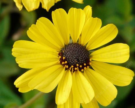 Encelia californica - California encelia, California brittlebush, bush sunflower  - grid24_12