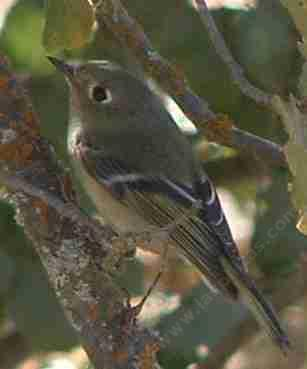 Female ruby crowned kinglet looking for bugs - grid24_12
