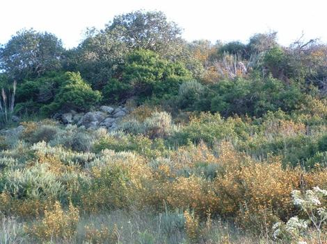 A coastal hillside of sticky monkey flower in a coastal sage scrub plant community. - grid24_12