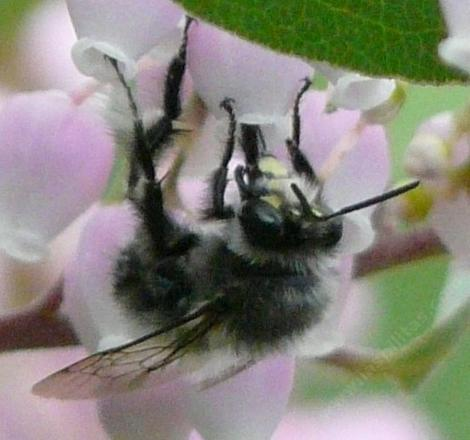 Bumblebee on manzanita flower, showing head - grid24_12