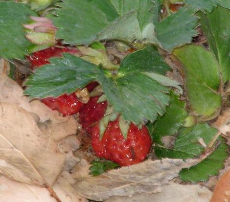 Woodland strawberry is a native plant that can produce decent little alpine strawberries.  - grid24_12