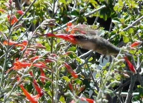 Zauschneria californica, Berts Bluff being worked by an Anna Hummingbird. Native bird on a native plant.  - grid24_12