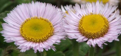 Erigeron glaucus Seaside Daisy  Daisy is eying you - grid24_12