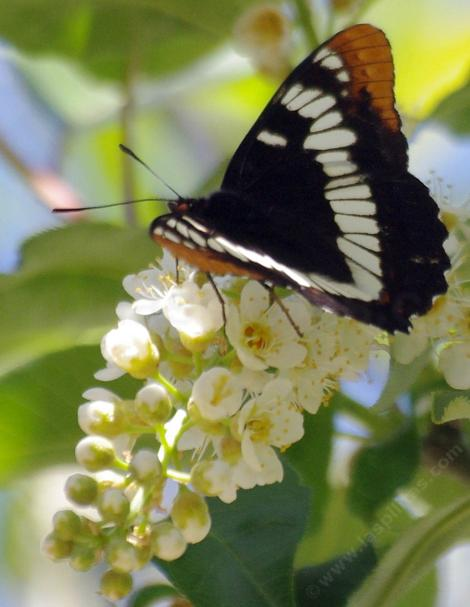 Lorquin's Admiral on a Western Chokecherry - grid24_12