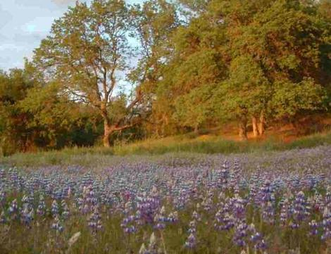 Blue Oak - Quercus douglasii woodland with Lupines - grid24_12