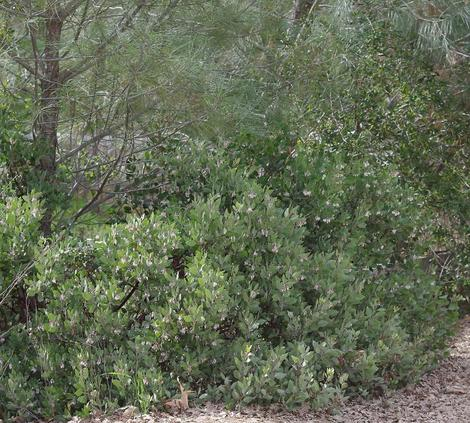 Arctostaphylos parryana grows in the Transverse ranges at 5000-7000 ft. - grid24_12