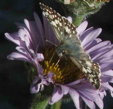 Common checkered skipper butterfly on Seaside Daisy - grid24_12