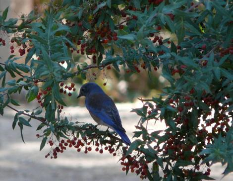 Western Bluebird on Mahonia nevinii, (syn. Berberis nevinii) Nevin's Barberryberries. - grid24_12