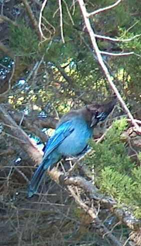A Stellar Jay in Redwood tree. - grid24_12